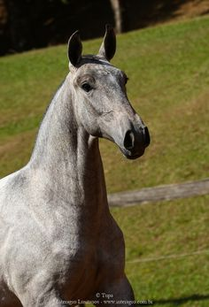 Grey Lusitano filly Persona, Beautiful Horses, Portrait, Cute Animals, Instagram, Grey, Dressage, Horses, Brown