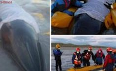 Baleia encalhada na costa da Escócia é salva por voluntários