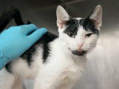 ***SAFE 09/08/17***A SECOND CHANCE FOR BEGINNER RATED AND FELV POSITIVE ALLIE IS A SWEET KITTEN WHO NEEDS A RESCUE ANGEL TONIGHT!! Allie came into the Care Center with bites of unknown origin. She will need to be quarantined at a vet clinic or can be quarantined in a home with permission from DOH in the 5 boroughs. If leaving the 5 boroughs, quarantine MUST be approved by the receiving city or township DOH. Please note, the 5 boroughs are easier for in home quarantine. Poor Alli...