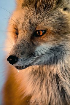 Red Fox by Josh Myers on 500px
