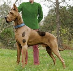 Scooby doo real life.  I would flip if I ever saw this dog in person!!!!
