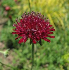 Knautia macedonica is one of our most sought after perennials, its dark-crimson pompoms are strikingly beautiful, and the flowering season is longer than any other and is also so easy to grow. Jewel Colors, Perennials, Grass, Seeds, Seasons, Flowers, Plants, Beautiful, Garden Ideas