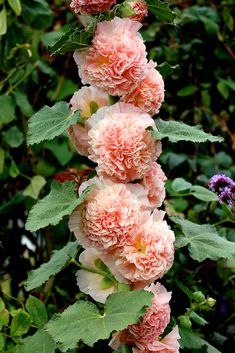 Specializing in rare and unusual annual and perennial plants, including cottage garden heirlooms and hard to find California native wildflowers. Growing Hollyhocks, Hollyhocks Flowers, Cut Flowers, Beautiful Flowers, Full Sun Flowers, Tall Flowers, Giant Flowers, Landscaping Plants, Garden Plants