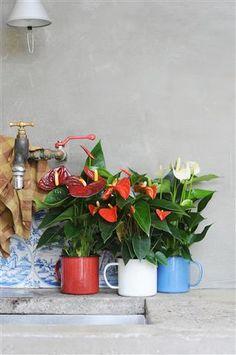 Nice colour trio on to your ktichen table ©Anthurium Unique Plants, Green Kitchen, Garden Trees, Backyard Landscaping, Color Trends, Houseplants, Container Gardening, Landscape Design, Orchids