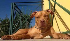 Mitos de los Perros Pitbull