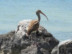 Juvenile American White Ibis with brown feathers.