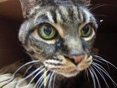 Adopt this senior cat.- Dakin Humane Society