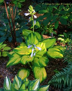 'Stained Glass' hosta - 15x48 Sun tol.