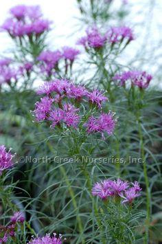 Vernonia lettermanii 'Iron Butterfly' Ironweed