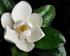 Plant the Magnolia Grandiflora, also known as the D. Blanchard magnolia, in your yard for elegant, stunning flowers. Order magnolia trees from Willis Orchards! Dwarf Magnolia, Flor Magnolia, Magnolia Flower, Magnolia Little Gem, Love Flowers, White Flowers, Beautiful Flowers, White Flower Photos, Exotic Flowers