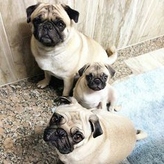 Estamos esperando!!vamos?We are waiting!! Come on?  Reposted from @pug.tchelo  #pugs #pugsofinstagram #pugstagram #pugsproud #whitepug  Tag your friends by pugsproud