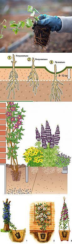 Как правильно посадить клематис. Где и как посадить клематисы.