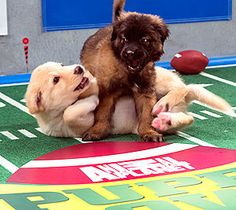 Puppy Bowl IX: Animal Planet. Did you know this was a real thing!?! There is a kitty halftime show and hedgehog cheerleaders!