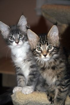 SaraJen Maine Coon Cats - Previous Litters