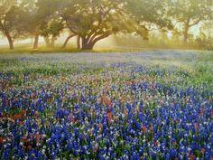 Texas Bluebonnet State Flower | Texas Bluebonnets - state flower