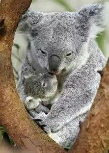 Mom&baby Koala bears