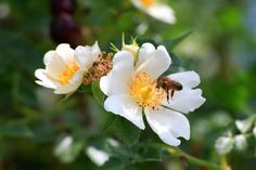 A bee gathers pollen from a wild rose | © Éric Tourneret