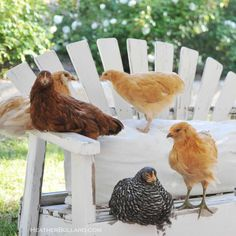 Easter Eggers, a Buff Orpington, a Barred Plymouth Rock and a Rhode Island Red. Their names in order of above types are: Souffle, Marshmallo...