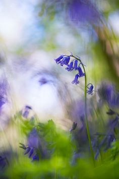 In a bluebell wood