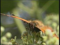 Dag- en nachtvlinders: In de zomer zie je veel vlinders. Maar je ziet ze niet alleen overdag. 's Nachts vliegen er ook vlinders. Dat zijn nachtvlinders. Kijk maar naar het filmpje.