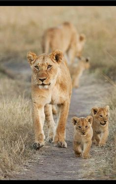 Lioness's and Their Cubs on an Outing.