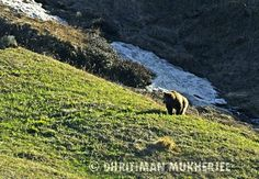 The Himalayan Brown Bear by Dhritiman Mukherjee  Amazing Stories and Photography on Tripoto