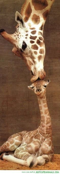 Funny pictures about Mom Kisses Baby Giraffe. Oh, and cool pics about Mom Kisses Baby Giraffe. Also, Mom Kisses Baby Giraffe photos. Cute Creatures, Beautiful Creatures, Animals Beautiful, Cute Baby Animals, Animals And Pets, Funny Animals, Wild Animals, Brave Animals, Mother And Baby Animals