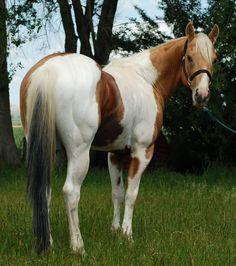 American Paint Horse stallion Lean On Me