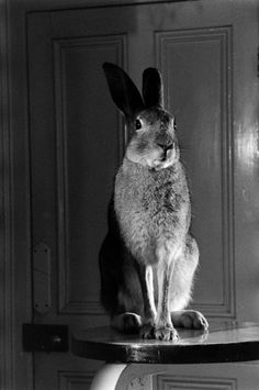 Horace, A housebroken Irish hare in 1956