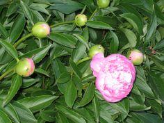 Doce, sim? Sim, Apple, Fruit, Candy, Spring, Flowers, Apple Fruit, Apples