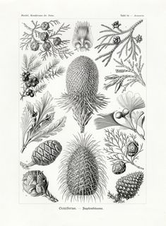 Natural History Art by Ernst Haeckel Illustration Pine Cones Print Poster Wall Art Conifers Evergreen Botanical Print Botanical Art Botanical Illustration, Botanical Prints, Nature Illustration, Botanical Drawings, Ernst Haeckel Art, Pine Cone Art, Pine Cones, Natural Form Art, Octopus Art