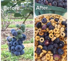 Pick blueberries in season (late June, early July) and enjoy them the rest of the year!