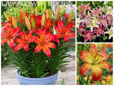 Under The Table and Dreaming: Ten Bulbs to Plant in the Spring for Summer Garden Color {Container Bulb Choices}