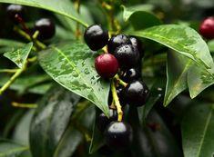 Laurowiśnia pochodzi z południa Europy, ale w zacisznych miejscach może rosnąć także w Polsce. Laurowiśnię można uprawiać również w dużych pojemnikach i latem… Christmas Drinks Alcohol, Drinks Alcohol Recipes, Non Alcoholic, Prunus, Cherry, Food And Drink, Make It Yourself, Fruit, Holidays