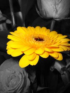 schwarz-weiß, farbe, gelb, blumen