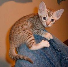 Catiators Ocicat kitten a cinnamon silver Baby Animals, Cute Animals, Ocicat, Spotted Cat, American Shorthair, Kitten Love, Beautiful Cat Breeds, Abyssinian, Betta
