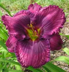 'Measure of Rulers' day lily Beautiful Flowers Garden, Exotic Flowers, Tropical Flowers, Pretty Flowers, Hawaiian Flowers, Cactus Flower, Purple Flowers, Daylily Garden, Asiatic Lilies