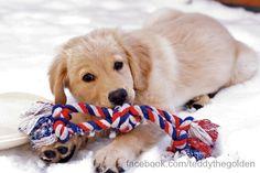 Teddy when he was a puppy. #goldenretriever #goldador