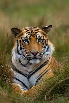 A Bengal Tiger. (Photo By: Sudhir Shivaram.) Not just cute - amazingly beautiful! Tiger Pictures, Animal Pictures, Beautiful Cats, Animals Beautiful, Aigle Animal, Animals And Pets, Cute Animals, Wild Animals, Baby Animals