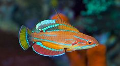 http://www.dorrypets.co.za/images/marine-fish/mccoskers_flasher_wrasse.jpeg