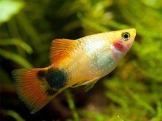 Aquarium Ideas, Aquarium Fish, Platy Fish, Guppy, Freshwater Aquarium, Aquariums, Goldfish, Fish Tank, Shrimp