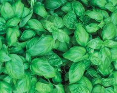 Basil in your garden growing out of control? Put it to good use with these tasty basil recipes! Uses For Basil, Conservation, Storing Basil, Fresh Basil Recipes, Herb Recipes, Gf Recipes, Potato Recipes, Recipies, Types Of Basil