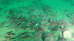 Sand dollars can form large beds in soft bottom habitats. Sonar surveys in 2008 suggested that this particular sand dollar bed off Otter Rock could cover as much as 3 square kilometers in 15-20 m depths. This large sand dollar bed was first visually inspected with the ODFW Remotely Operated Vehicle which captured this image on video. The spatial extent of sand dollar beds off Oregon is not well known and visual surveys can help ground truth sonar work and provide information about the biotic…