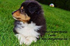 owczarek szetlandzki sheltie rodowodowe Shetland Sheepdog, Angst Im Dunkeln, Sheltie, Social Platform, Corgi, Data, Animals, Good Night Story, Stories For Children