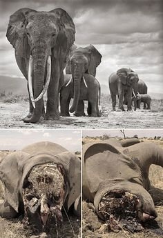 STOP POACHING!  (Top) On October 27 2012, Nick Brandt took this photo of Qumquat, one of Amboseli national park's most famous matriarchs, and her family, in Kenya. (Bottom) 24 hours later, they were gunned down by poachers Photograph: Nick Brandt/Big Life Foundation