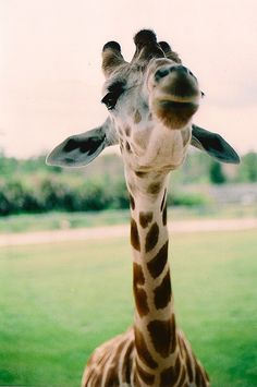 Giraffe Kiss-a-Maniac's back in town! Come and get your smooch! Gimme a like if you wanna kiss, lol. All Gods Creatures, Cute Creatures, Beautiful Creatures, Animals Beautiful, Baby Animals, Funny Animals, Cute Animals, Animal Original, Mundo Animal