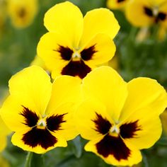 Pansies - cold-tolerant flowers you can plant early, even in Canada!
