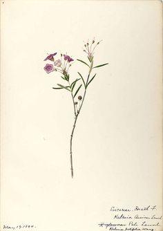 206412 Kalmia polifolia Wangenh. / Sharp, Helen, Water-color sketches of American plants, especially New England,  (1888-1910) [Helen Sharp]