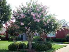 Crepe Myrtle  Small pink flowers appear periodically from April to October and are followed about one month later by bright red, tart-tasting, 1-inch fruits which are high in vitamin C.