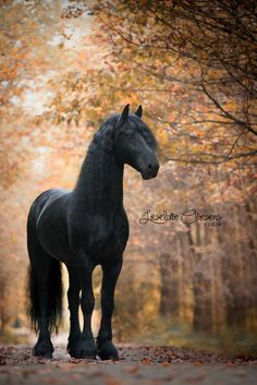 Most Beautiful Horses, All The Pretty Horses, Animals Beautiful, Black Horses, Wild Horses, Horse Photos, Horse Pictures, Royal Animals, Friesian Horse